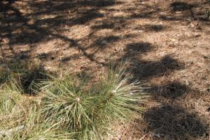 Pine near ground