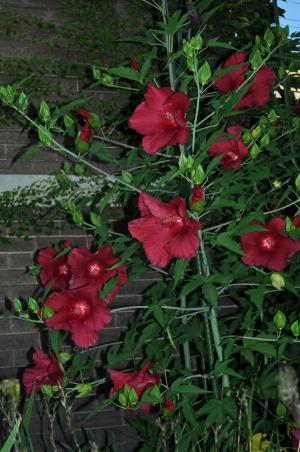Hardy Hibiscus Rose Mallow Our Urban Times
